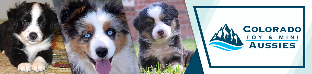 DeeDee/Tye Black tri girl | Colorado Toy & Mini Aussies | Aussiedoodles | Miniature Australian Shepherd - Fountain, CO